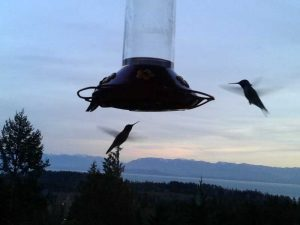 Hummingbirds during dusk